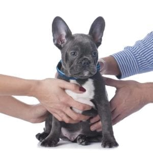 Hands of a man and woman both holding a cute puppy