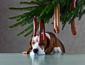 Sad beagle under a Christmas tree decorated with hanging sausages.