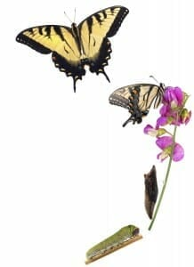 Recover From Divorce: Illustration of a caterpillar on a flower, turning into a butterfly