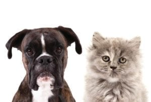 Boxer dog and grey cat staring at camera with no emotion.