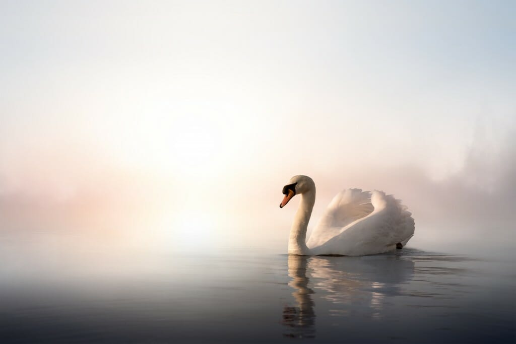 White swan in still water with blurred background.