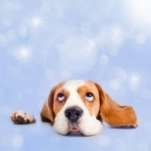Cute beagle looking up to the sky with his head resting on a table