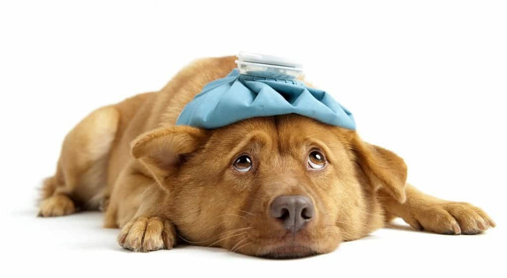 Depressed dog with a hot pack on his head: how to cope with divorce!