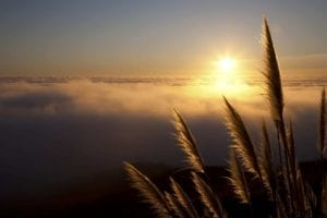 Pampas grass along the Northern California coastline at sunset with fog over the Pacific Ocean. Healing, new life.