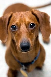 "Close up of cute dachsund. His look says ""be kind."""