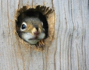 Close up of a squirrel looking through a hole in wood. Be safe.