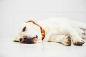 Ill labrador retriever is lying down on floor.