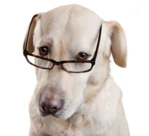 White dog looking through glasses, assessing options.