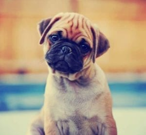 Cute pug looking at camera and wondering what's in a dog's best interest