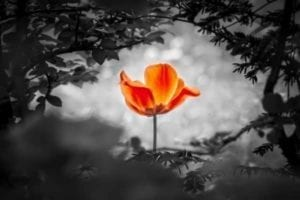Orange flower blooming in black and white winter photo signifying hope to save your marriage.