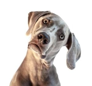 Close up of a dog looking confused.
