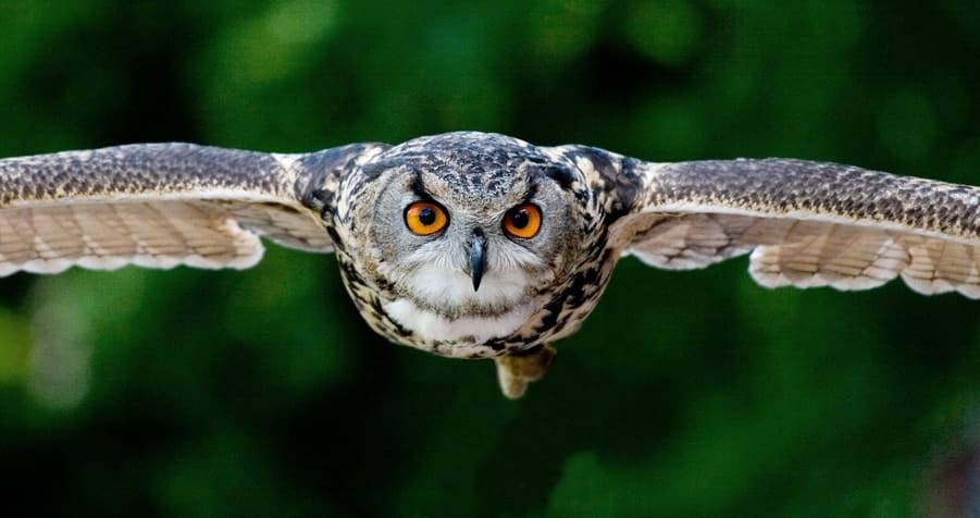 Determined looking owl with orange eyes flying at the camera.